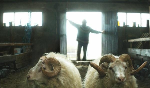 Going. | Barany. Islandzka opowieść - Kino Muranów