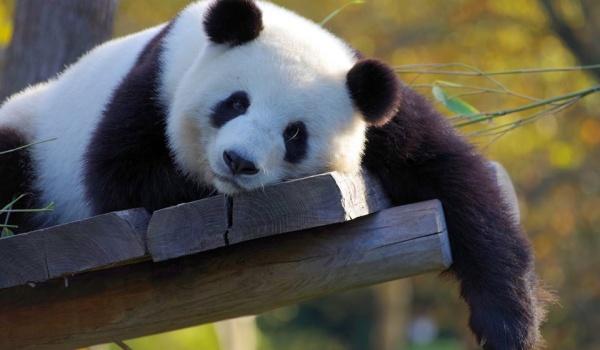 Going. | Sing and Smile: Panda Bear - Dom Kultury Kadr