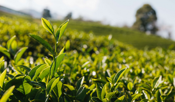 Going. | Warsztaty parzenia herbaty zielonej i czarnej - Próba Cafe