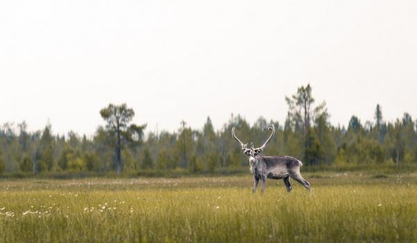 Going. | Opowieści o Laponii w Chacie Numinosum - Chata Numinosum